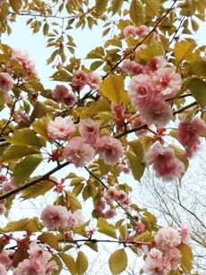 今年もきれいに咲いてます。