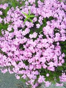 ピンクの花ばかりwww