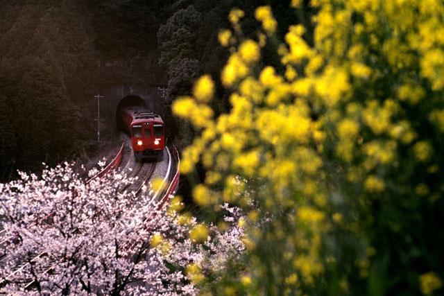 篠栗線キハ200/桜・菜の花