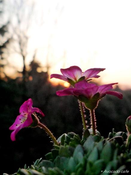 雲間草夕日