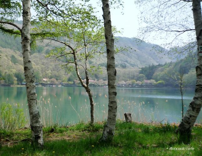 四尾連湖の白樺