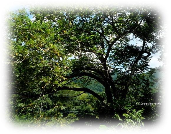 胡桃の木の枝