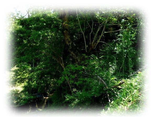 胡桃の木と沢