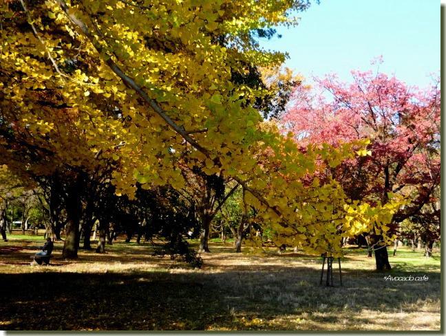 小金井公園のイチョウ葉