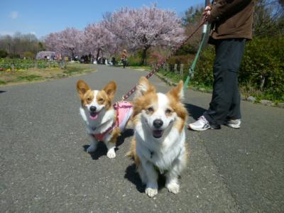 桜とシャンとわー400