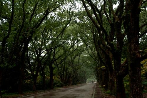 京都府立植物園楠並木