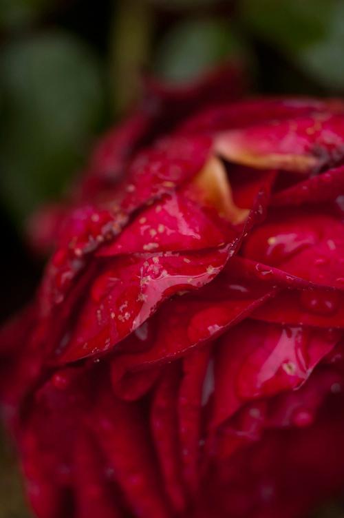 rose_13_11_10_3.jpg