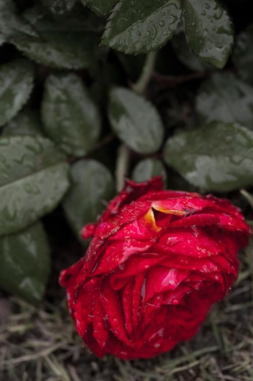 rose_13_11_10_4.jpg