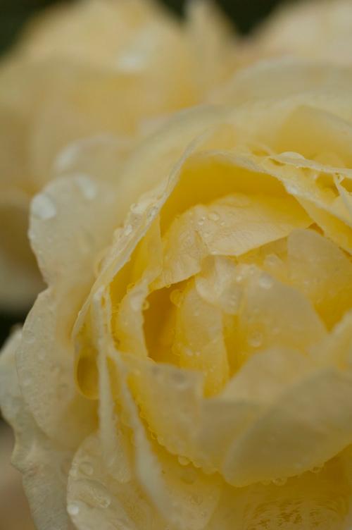 rose_13_11_10_9.jpg