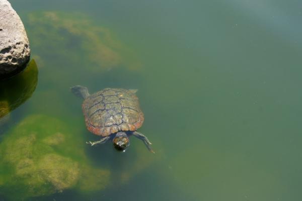 亀 / Tortoise