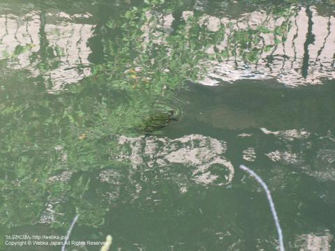 大岡川の亀