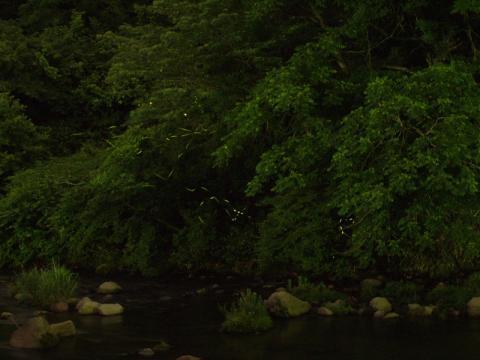 宮城野早川堤のホタル