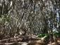 マテバシイの林