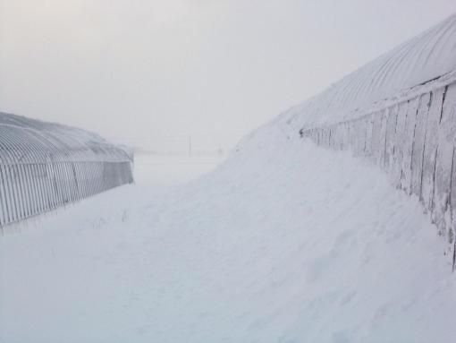 20141114_ハウスの腰まで雪