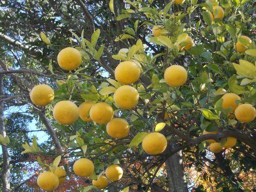 20141207_鶴岡八幡宮の柑橘類
