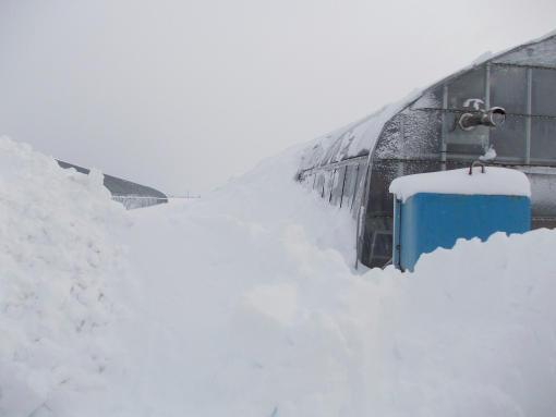 20141218_大雪4_ハウスの天井からつながる雪