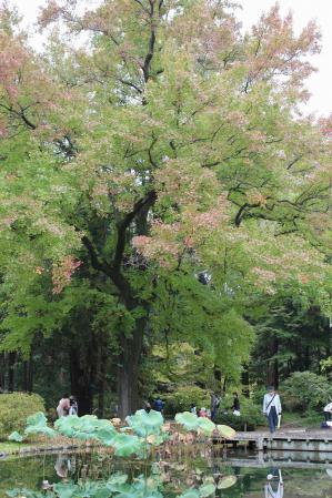 111103フウの木