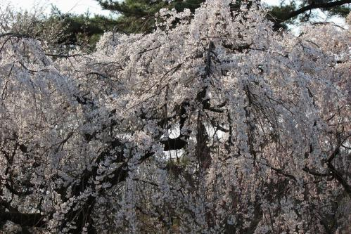 120408御所の桜(近衛池)④