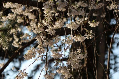 120408御所の桜(近衛池)①