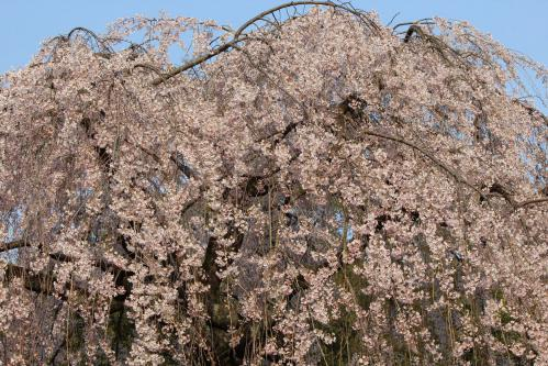 120408御所の桜(糸桜)③