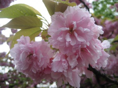 120423堀川の八重桜②