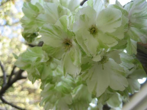 120418夷川公園③・緑の桜