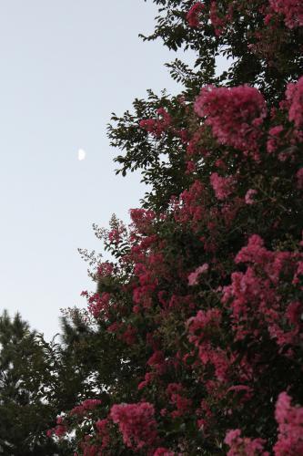 120825御所のサルスベリと月