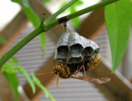 アシナガバチの巣(初期)