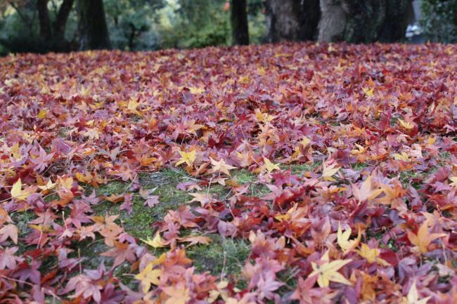 121123秋の御所①・堺町休憩所の紅葉