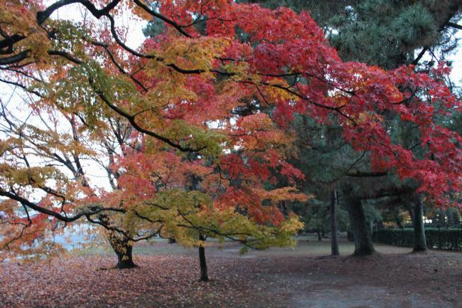 121123秋の御所⑰・桜と紅葉