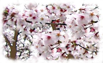 sakura-kaku.jpg