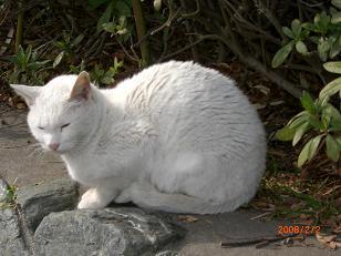江ノ島猫1
