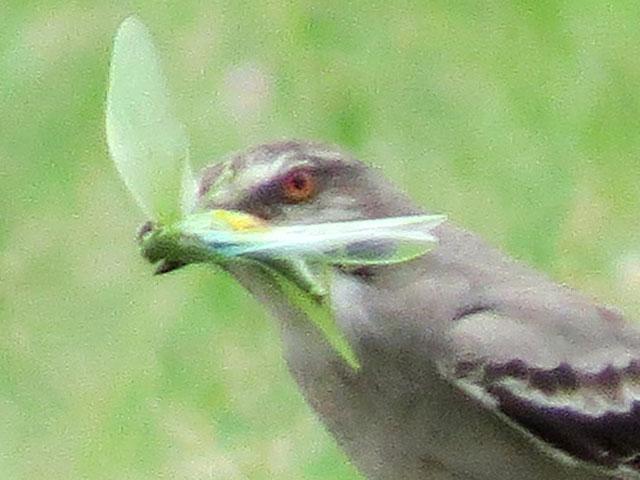 ハイムネタイランチョウ, Xolmis cinereus
