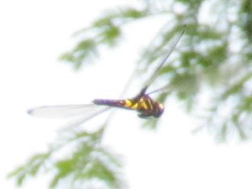 飛ぶコシアキトンボ