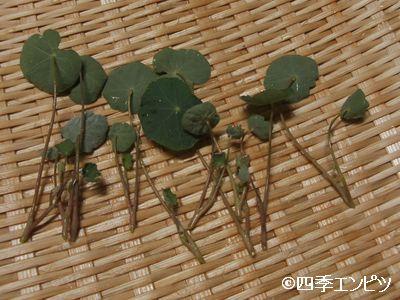 20100717 ナスタチウム 収穫