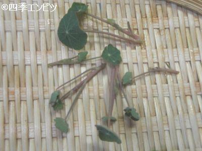 20100731 ナスタチウム 収穫