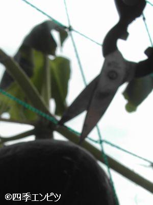 20100731 西洋かぼちゃ 5番収穫