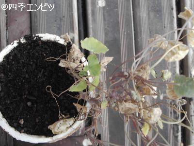 20100808 ナスタチウム 小さい鉢