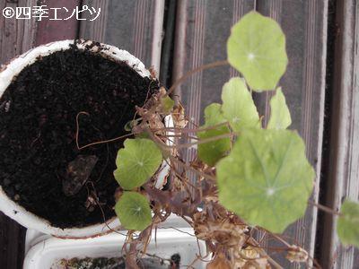 20100814 ナスタチウム 小さい鉢の方