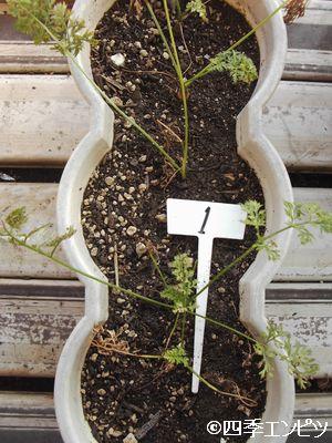 20100904 ベビーキャロット 1番プランター 収穫前