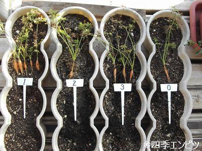 20100904 ベビーキャロット土の再生実験 結果