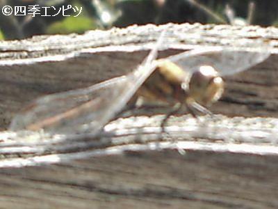 20101103 あかとんぼ