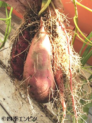 20101103 サツマイモ 3番 芋掘り 17