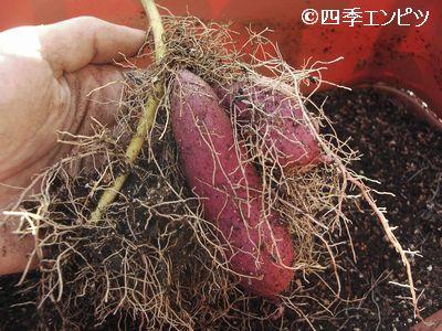 20101103 サツマイモ 3番 芋掘り 18