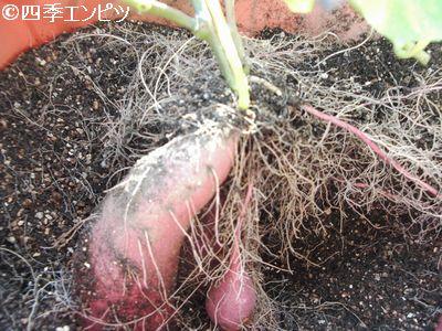 20101103 サツマイモ 3番 芋掘り 16