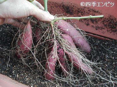 20101103 サツマイモ 2番 芋掘り 21