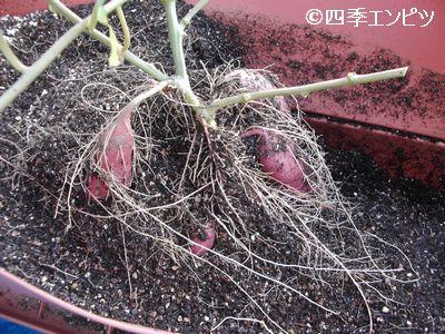 20101103 サツマイモ 2番 芋掘り 20