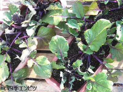 20110115 紅菜苔 1