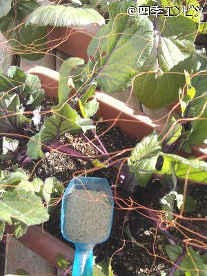 20110110 紅菜苔 追肥