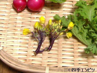 20110123 紅菜苔 収穫